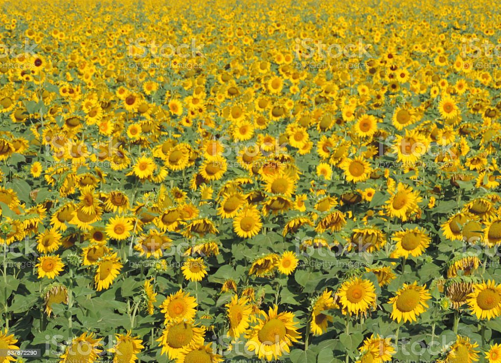 Field of Sunflowers on the Rhone in July stock photo