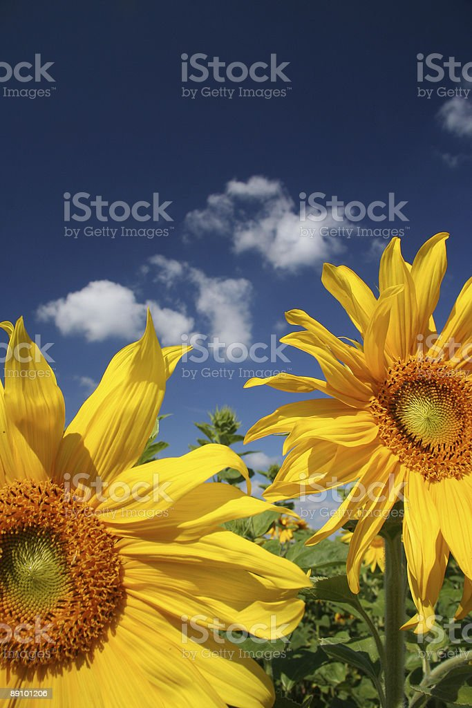 Field of sunflowers royalty-free stock photo