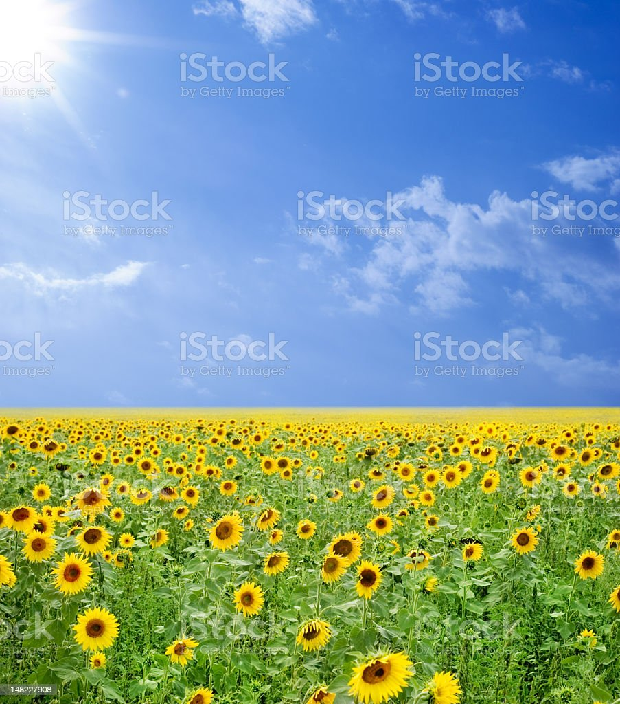 A field of sunflowers under a blue cloudy sky royalty-free stock photo