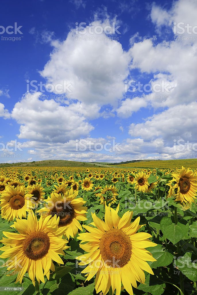 A field of sunflowers with a clear blue sky and clouds royalty-free stock photo