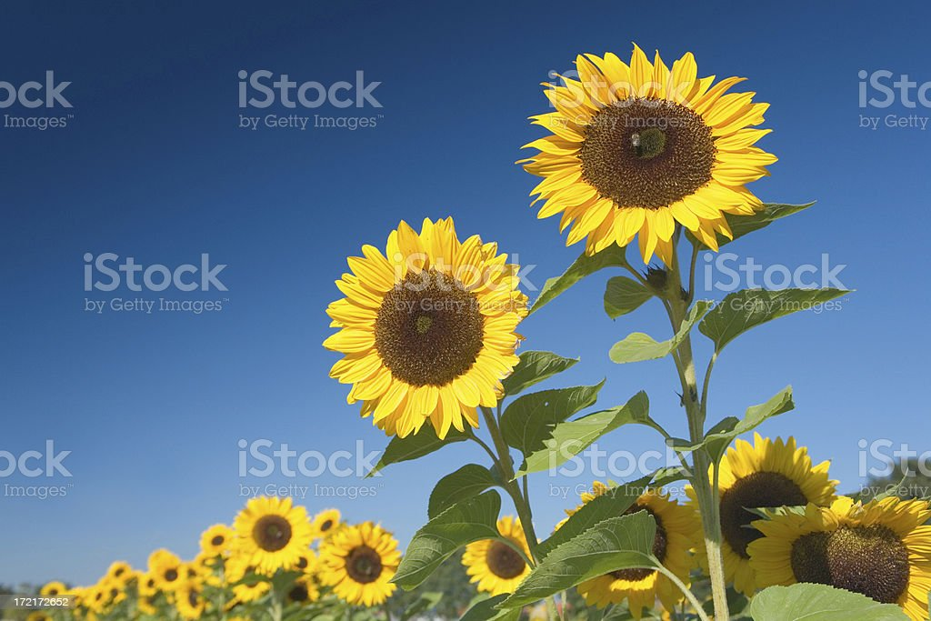 Field of sunflowers with blue sky royalty-free stock photo