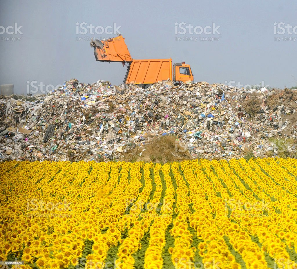 Field of sunflowers with garbage dump in the background stock photo