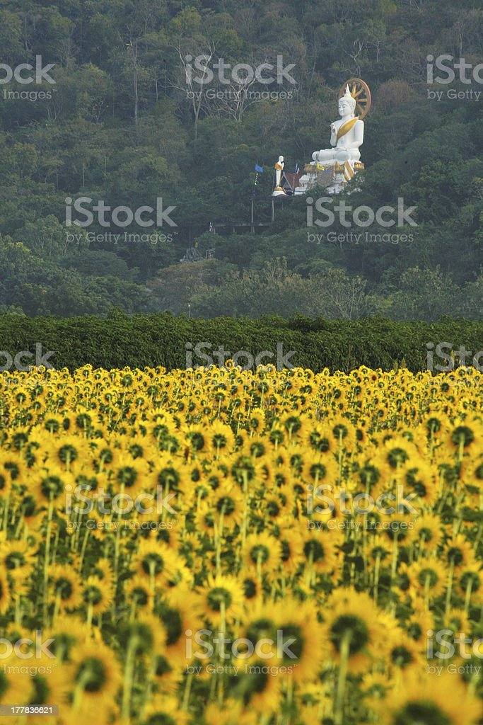 field of sunflowers with white buddha statue, Thailand stock photo