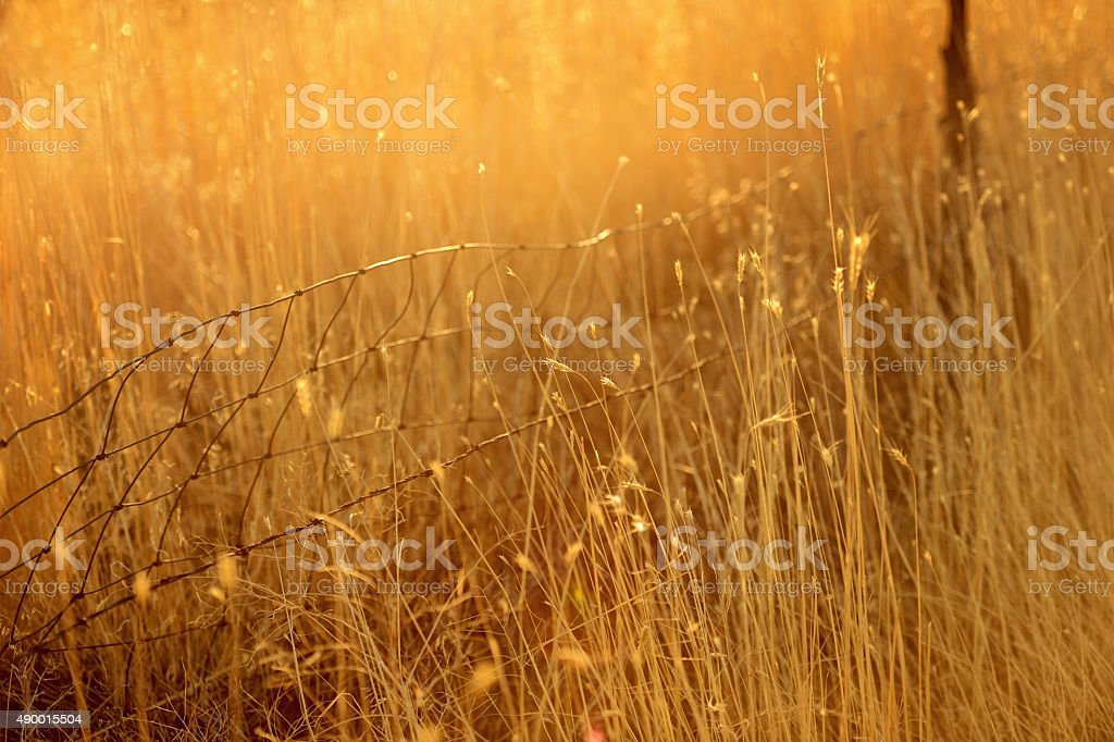 Field of Tall Dry Sun Kissed Grass and Old Fence stock photo