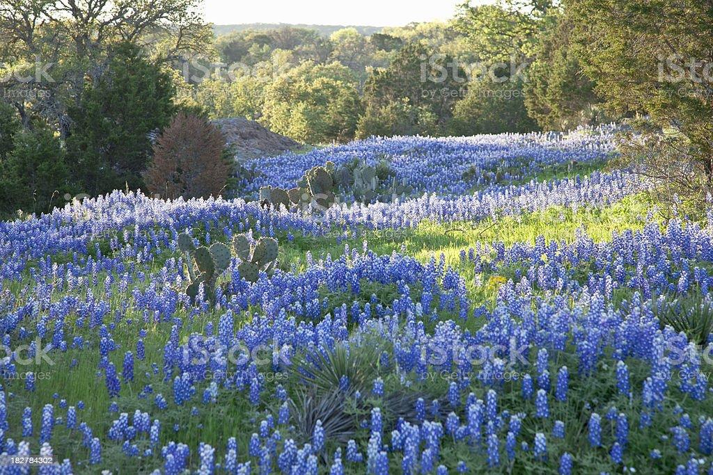Field of Texas Bluebonnets Skimmed by Morning Sun stock photo
