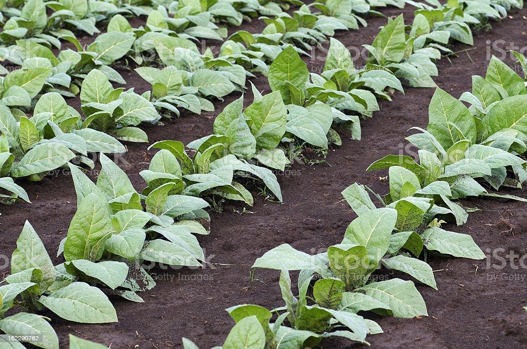 field of tobacco plants stock photo