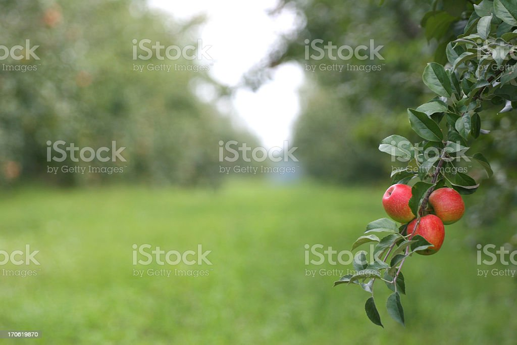 Field of tress with apples on it stock photo