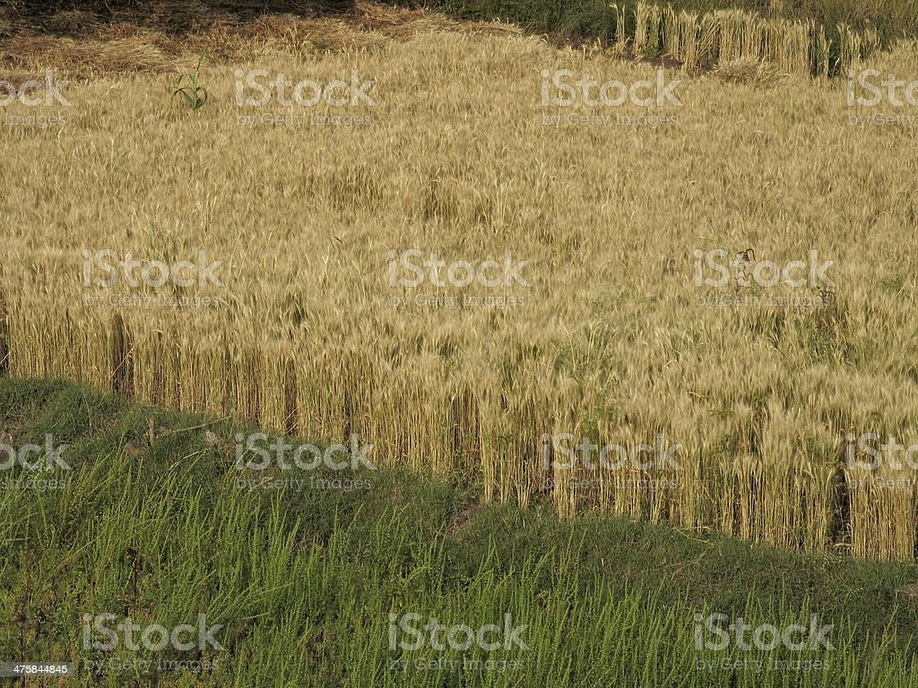 Field of Triticum aestivum L., Wheat crop royalty-free stock photo