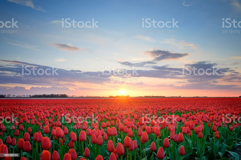 Field of Tulips in HDR stock photo