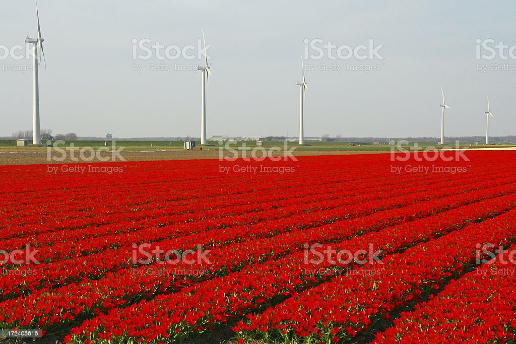 Field of tulips # 2 royalty-free stock photo