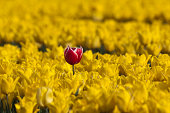 Field of Tulips, with one standing out from the rest