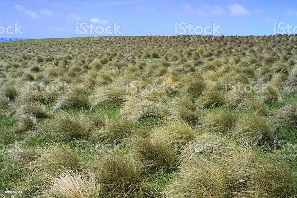 Field of tussock grass royalty-free stock photo