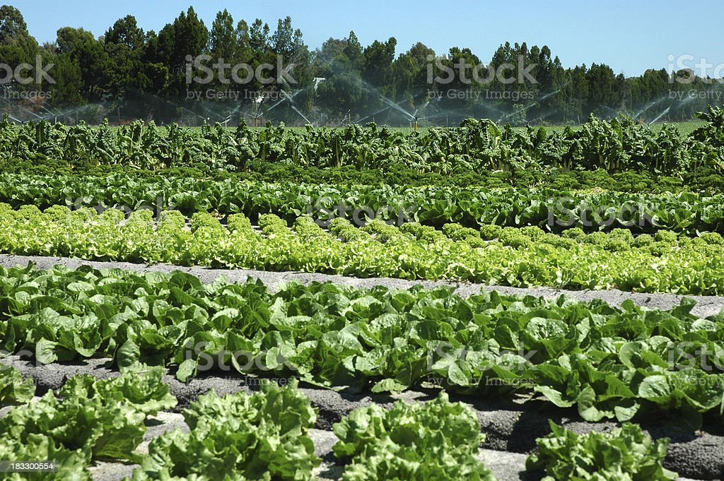 Field of Vegetables royalty-free stock photo