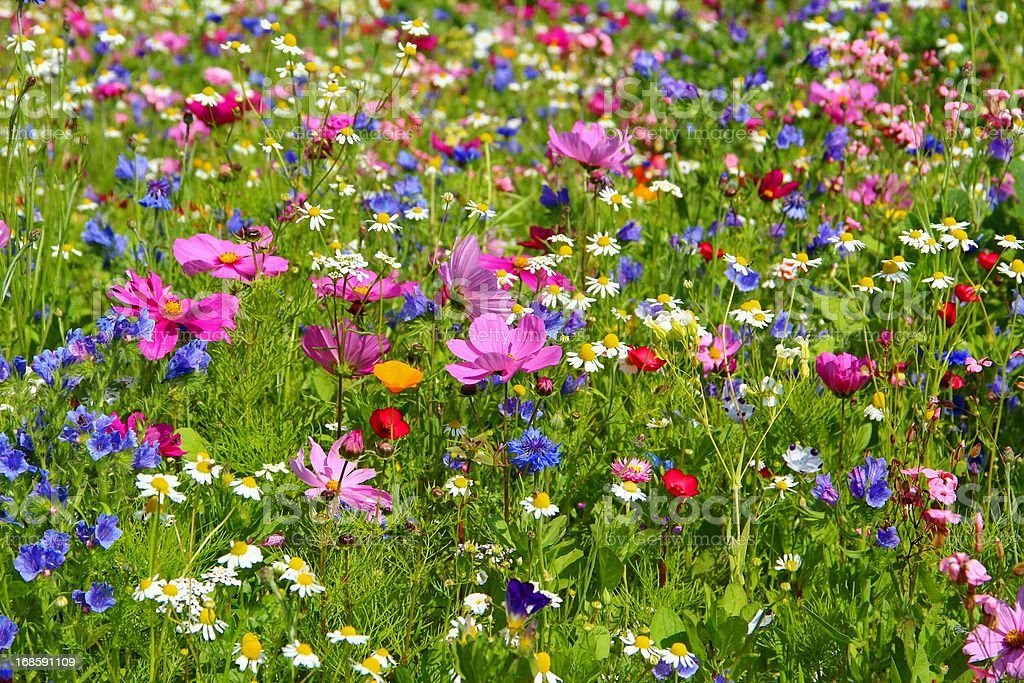 A field of vibrant multicolored wild flowers in full bloom stock photo