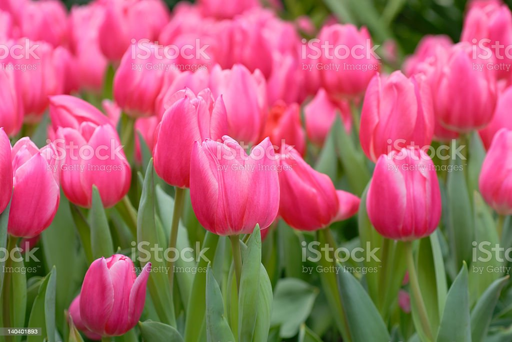 A field of vibrant pink tulips stock photo