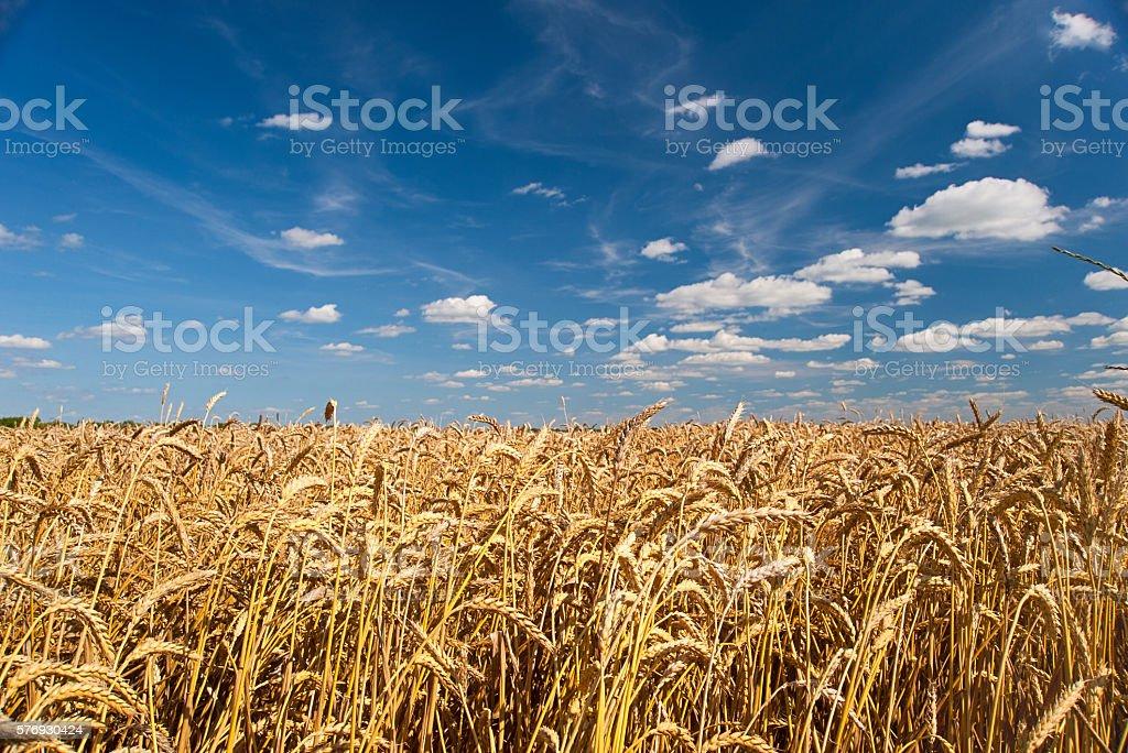 Field of wheat against the sky Lizenzfreies stock-foto