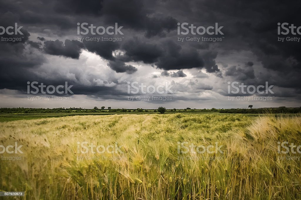 Field of wheat before the storm stock photo