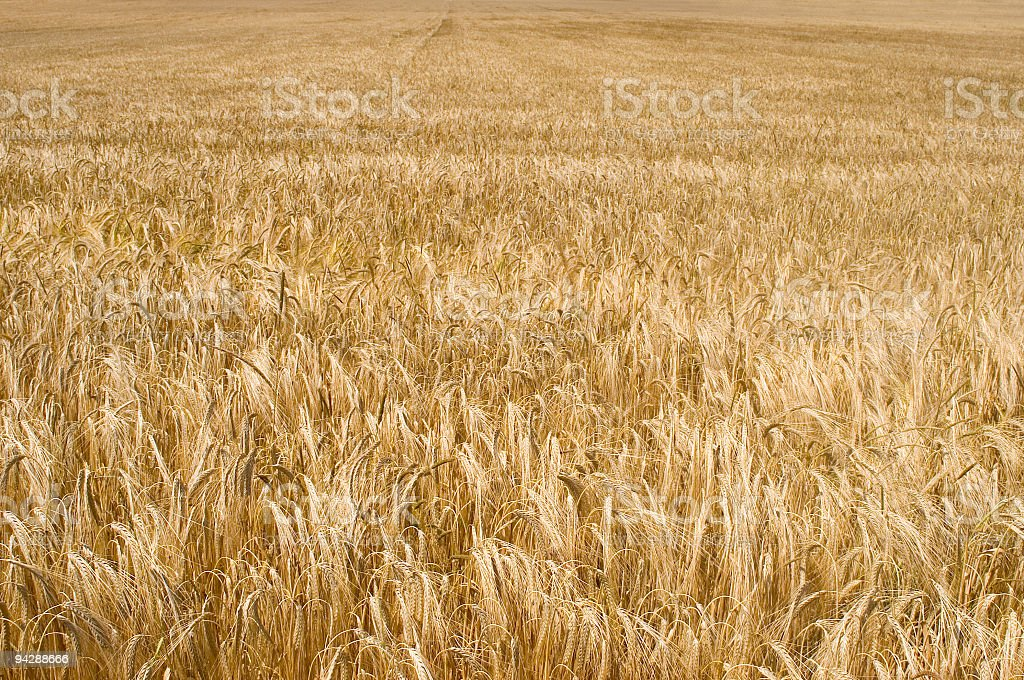 Field of wheat crop royalty-free stock photo