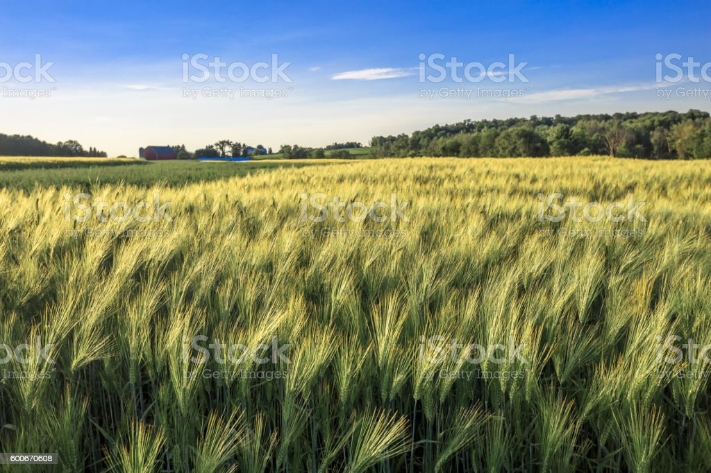 field of wheat in front of a Wisconsin farm in July. stock photo