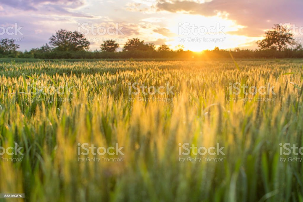 Field of wheat in the sunset landscape stock photo