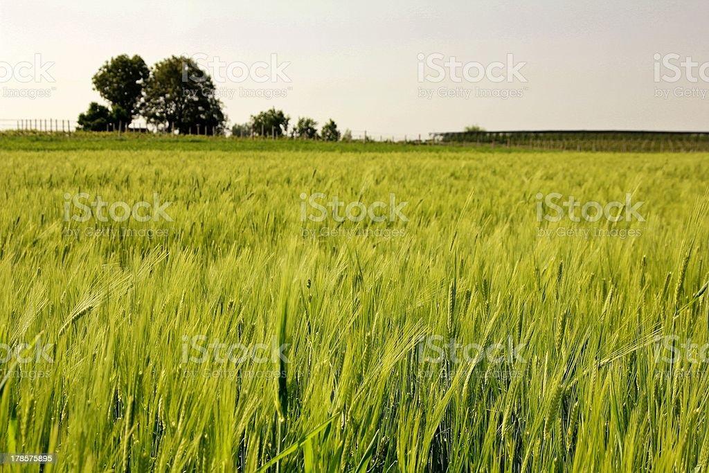 Bereich der Weizen Lizenzfreies stock-foto