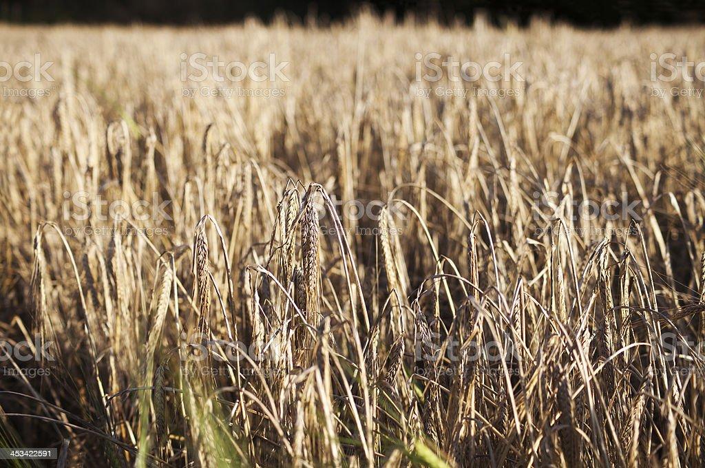 Campo di grano foto stock royalty-free