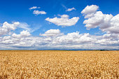 Field of Wheat Ready for Harvest and Clouds