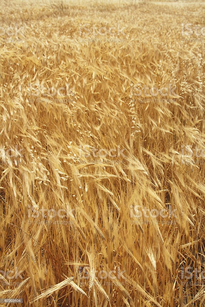 field of wheat ready for harvest royalty-free stock photo