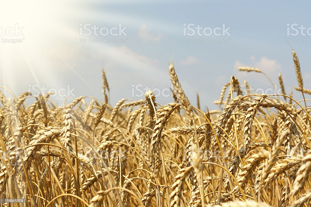 field of wheat ready for harvesting royalty-free stock photo