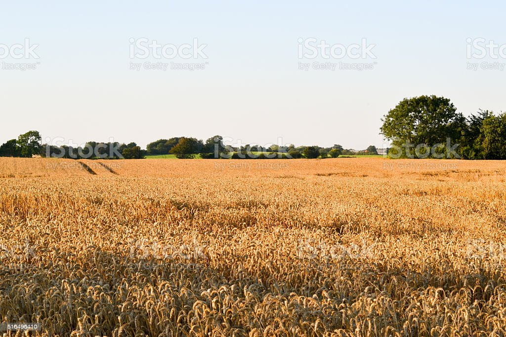 field of wheat, the harvest stock photo