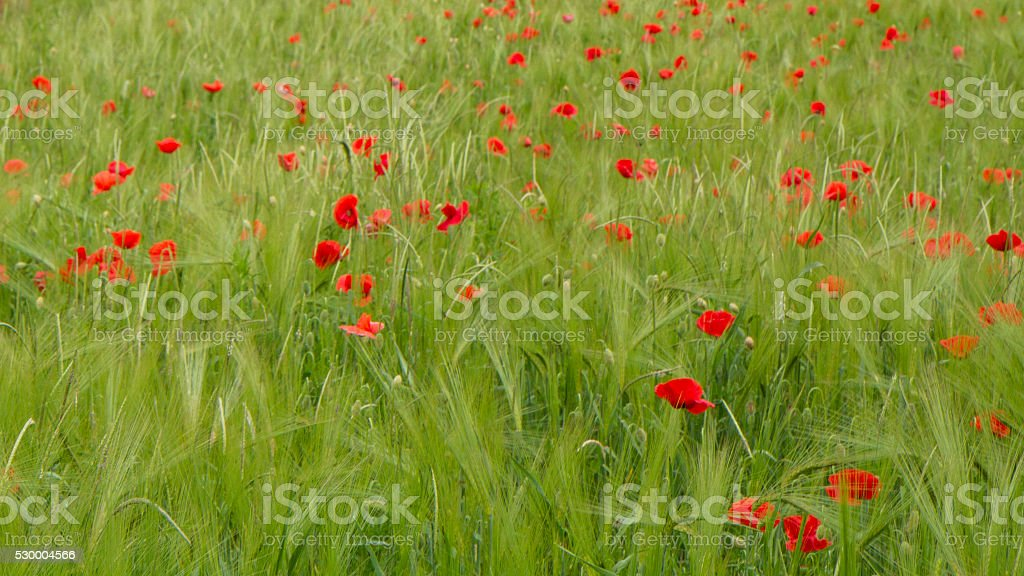 Field of wheat whit poppy stock photo