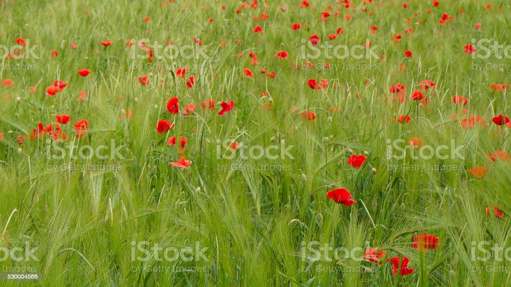 Field of wheat whit poppy stock photo