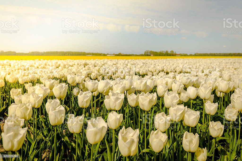 Field of white and yellow Tulips with fluffy clouds stock photo