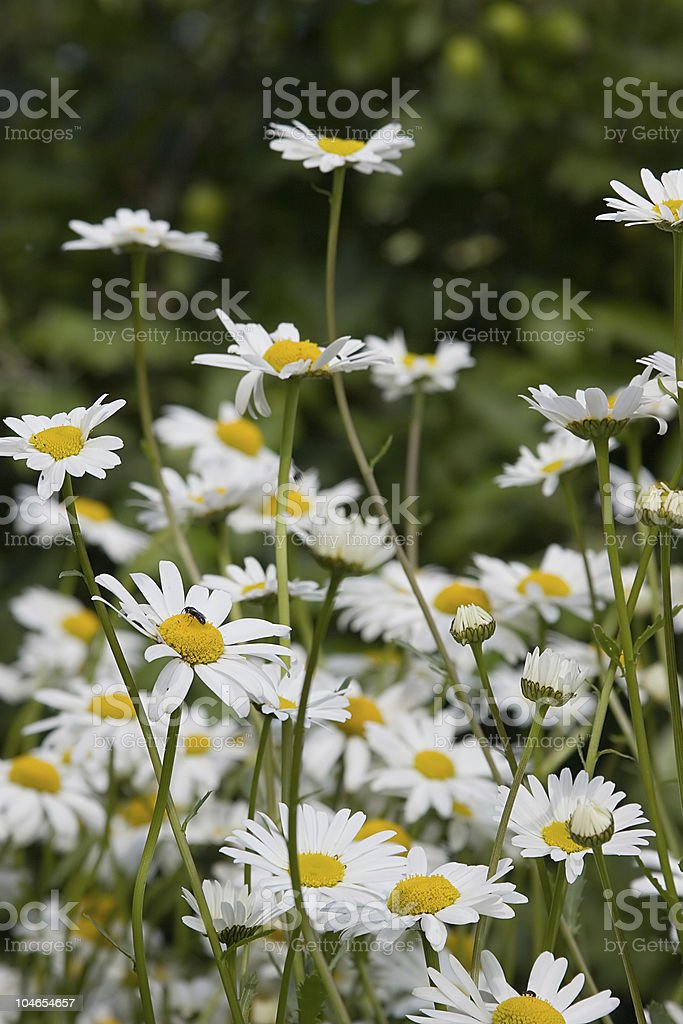 field of white chamomiles royalty-free stock photo