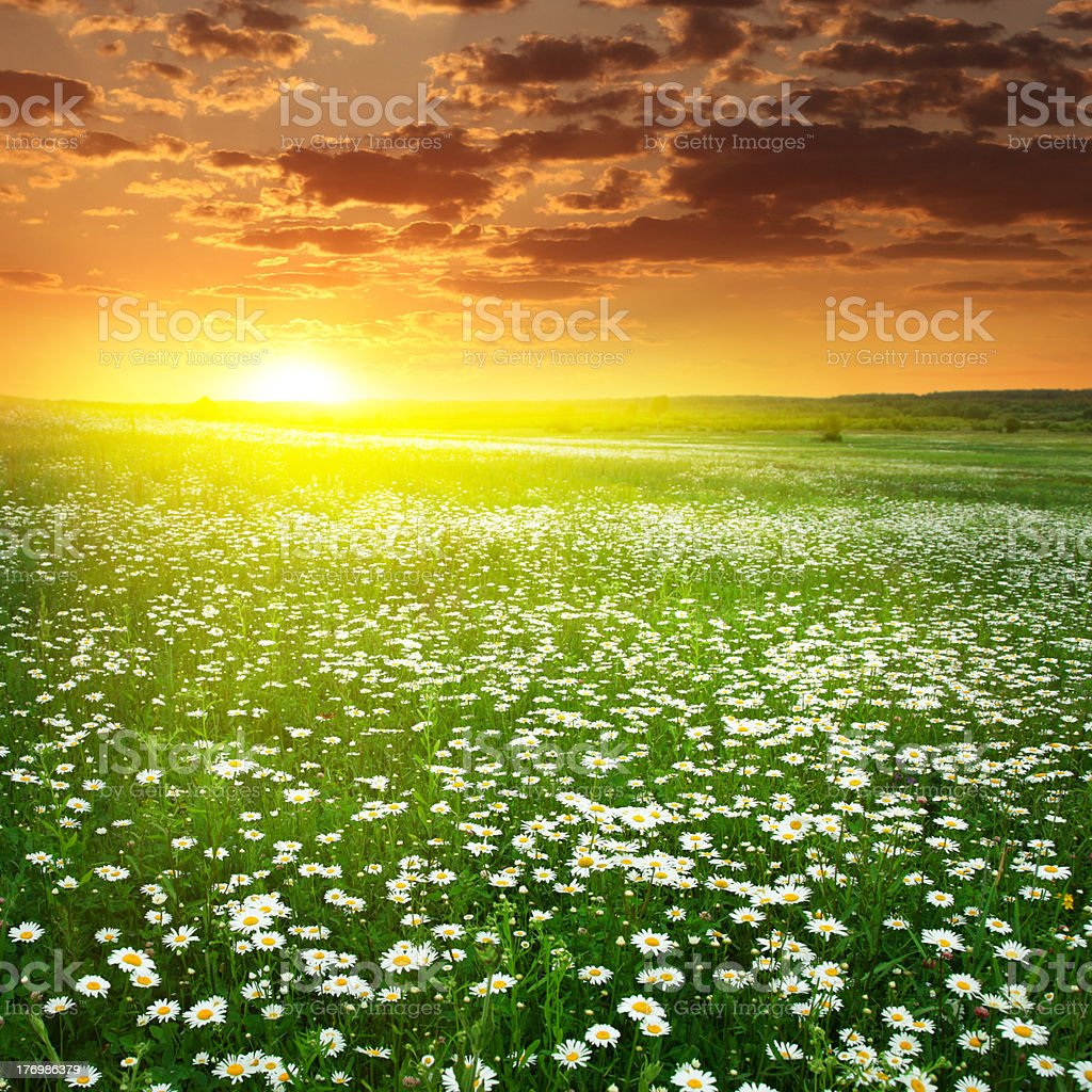 Field of white daisies and bright sunset. stock photo