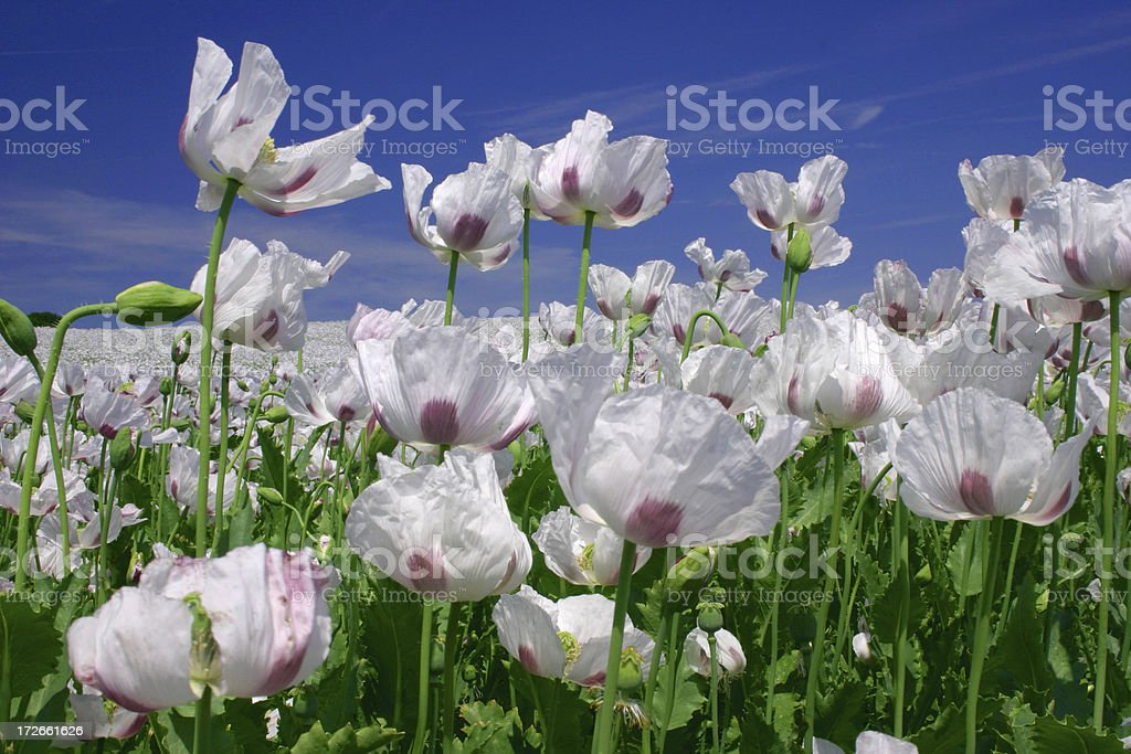 Field of white royalty-free stock photo
