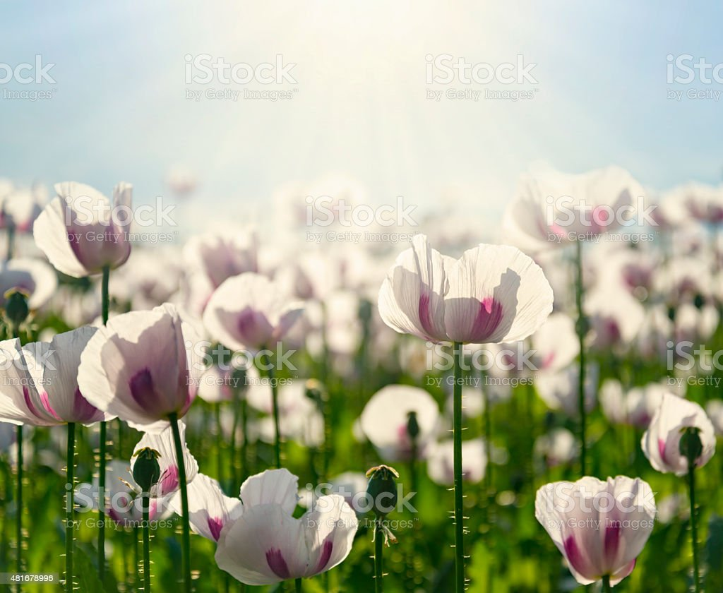 Field of white poppies on a sunny day stock photo