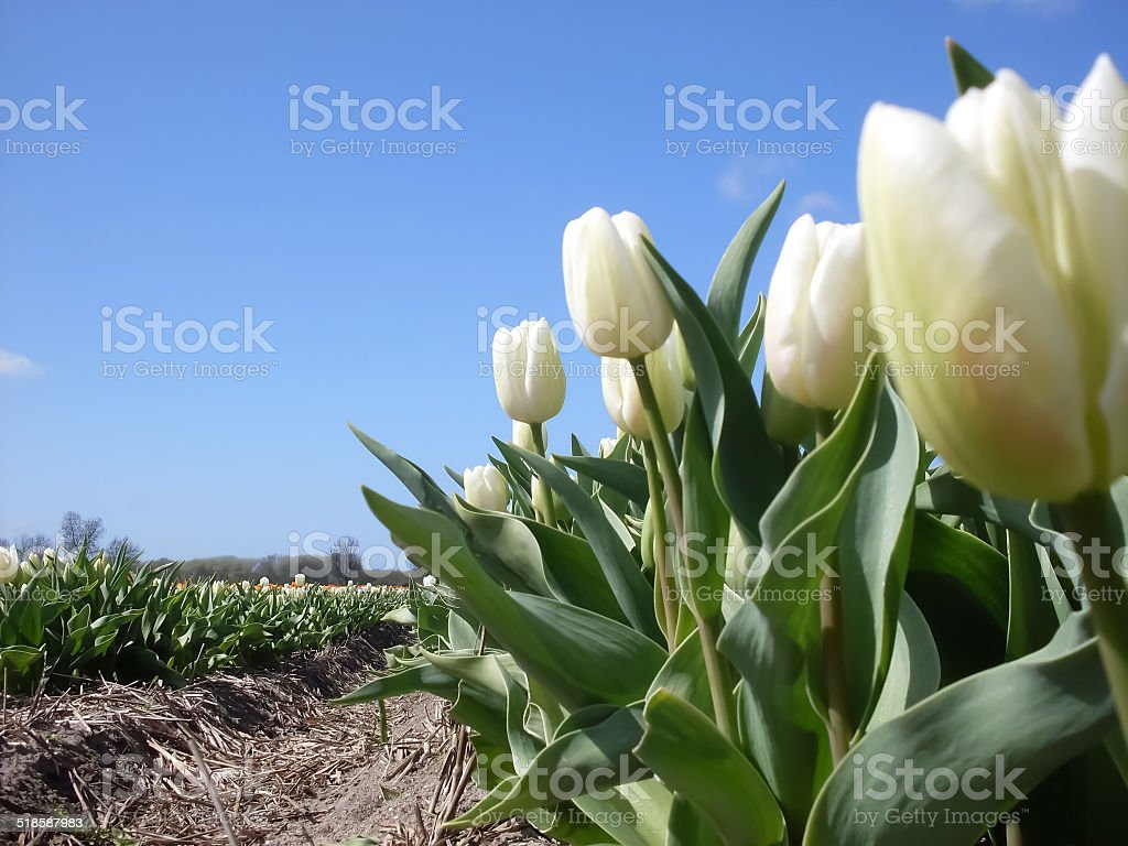 field of white tulips in Holland royalty-free stock photo