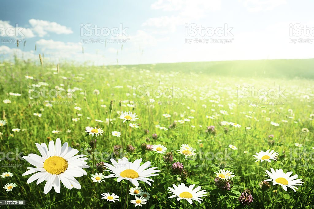 field of wild flowers stock photo