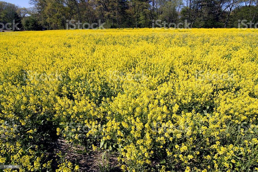 Field of Wild Mustard stock photo