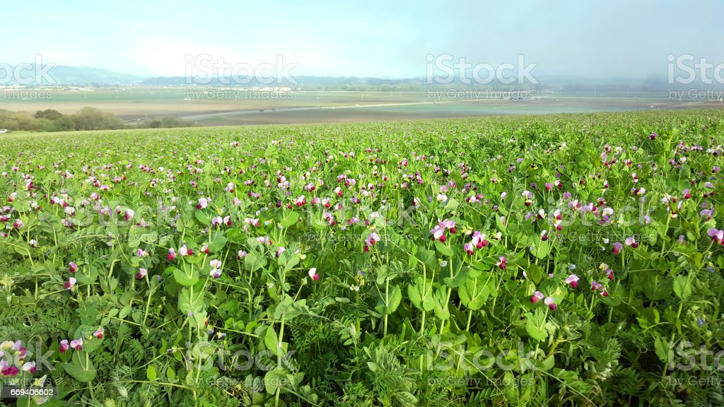 Field Of Wild Spring SweetPeas Central California stock photo