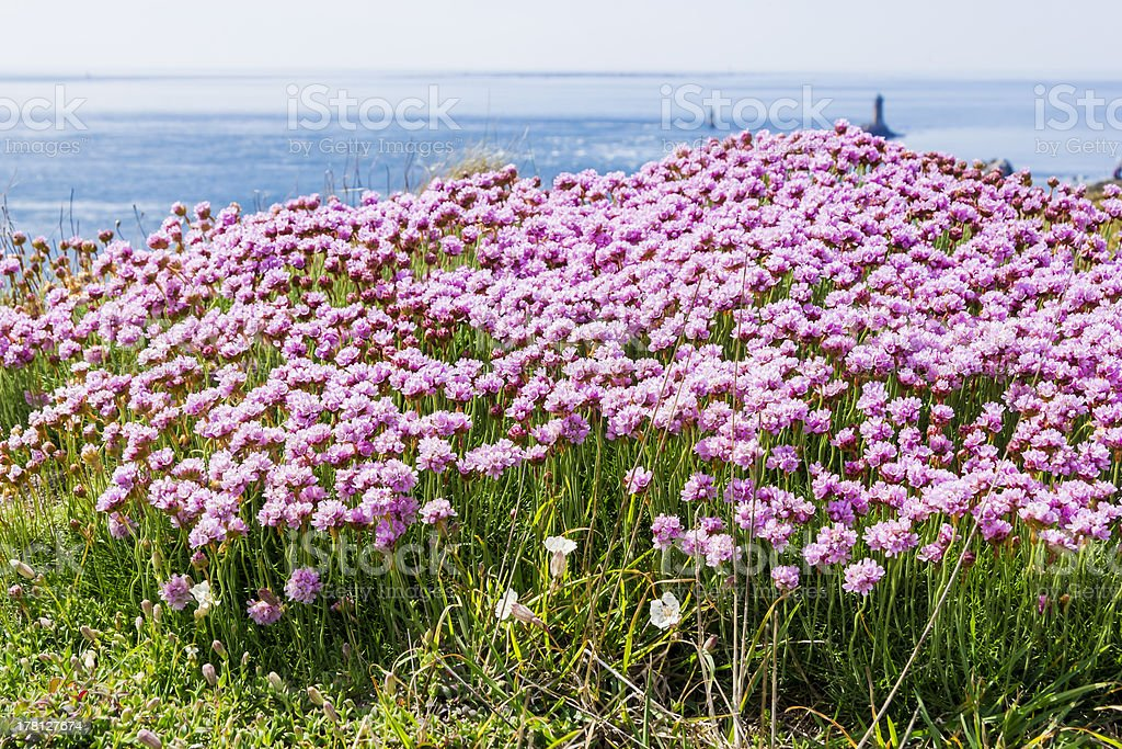 field of wildflowers at Cape Ra, (Pointe du Raz) royalty-free stock photo
