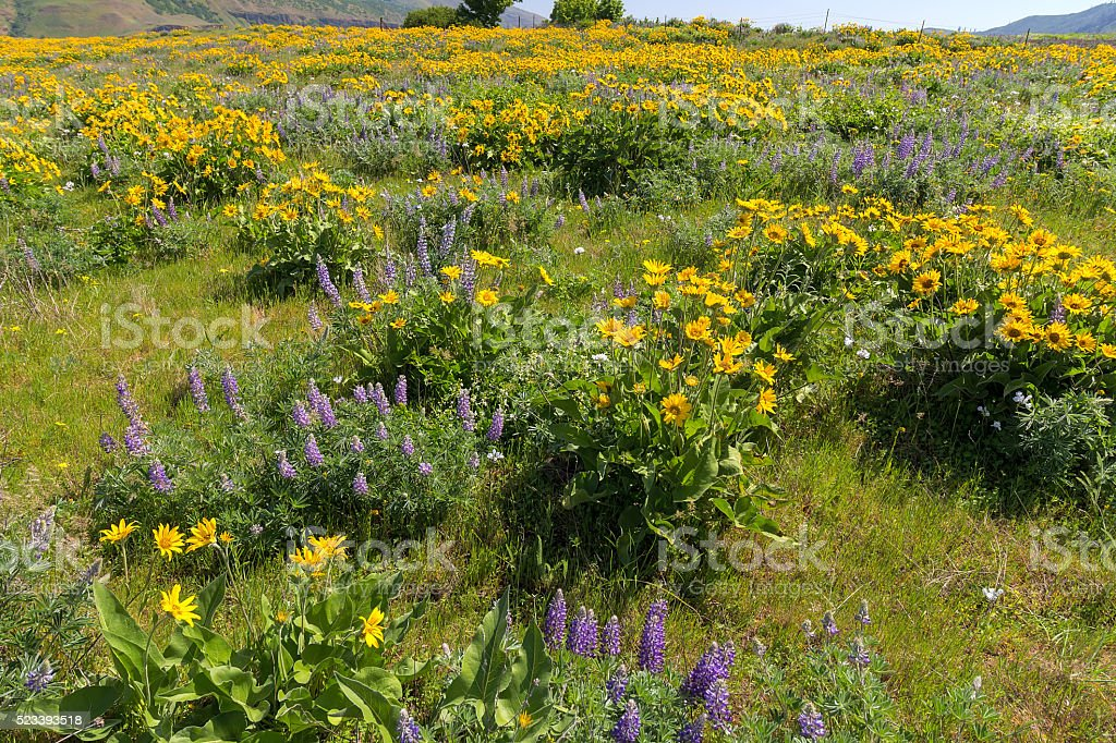 Field of Wildflowers at Columbia River Gorge stock photo