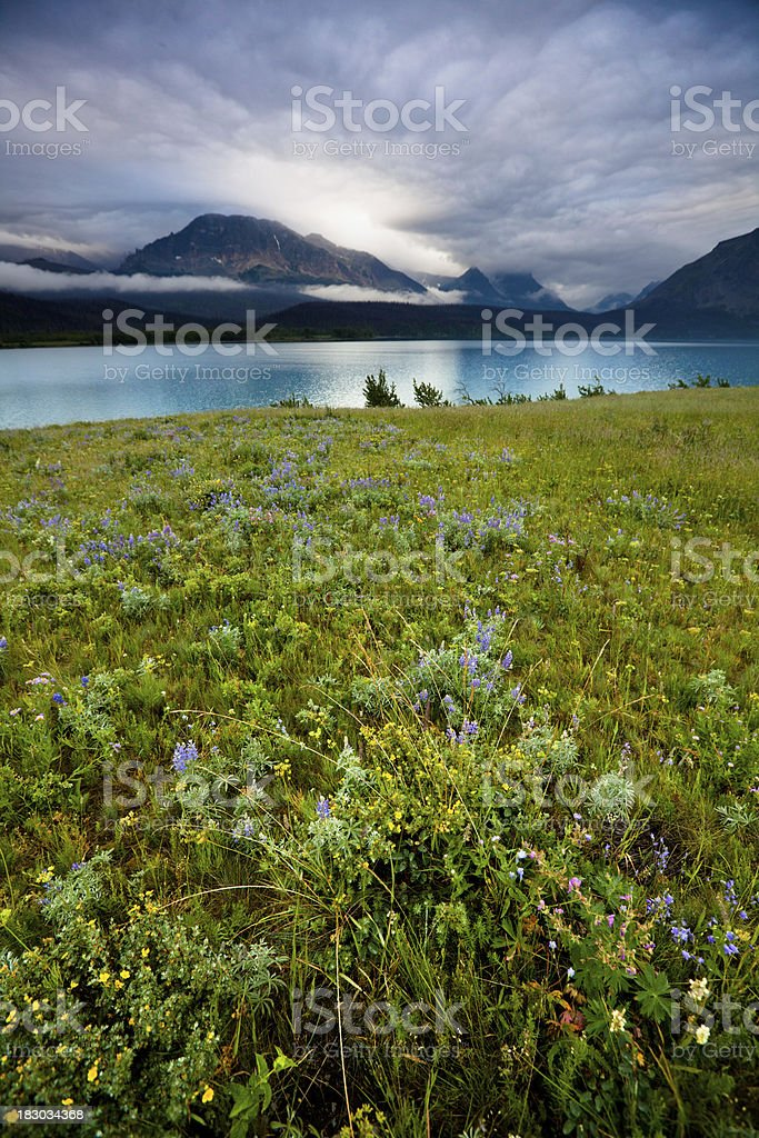 Field of wildflowers in Glacier National Park royalty-free stock photo