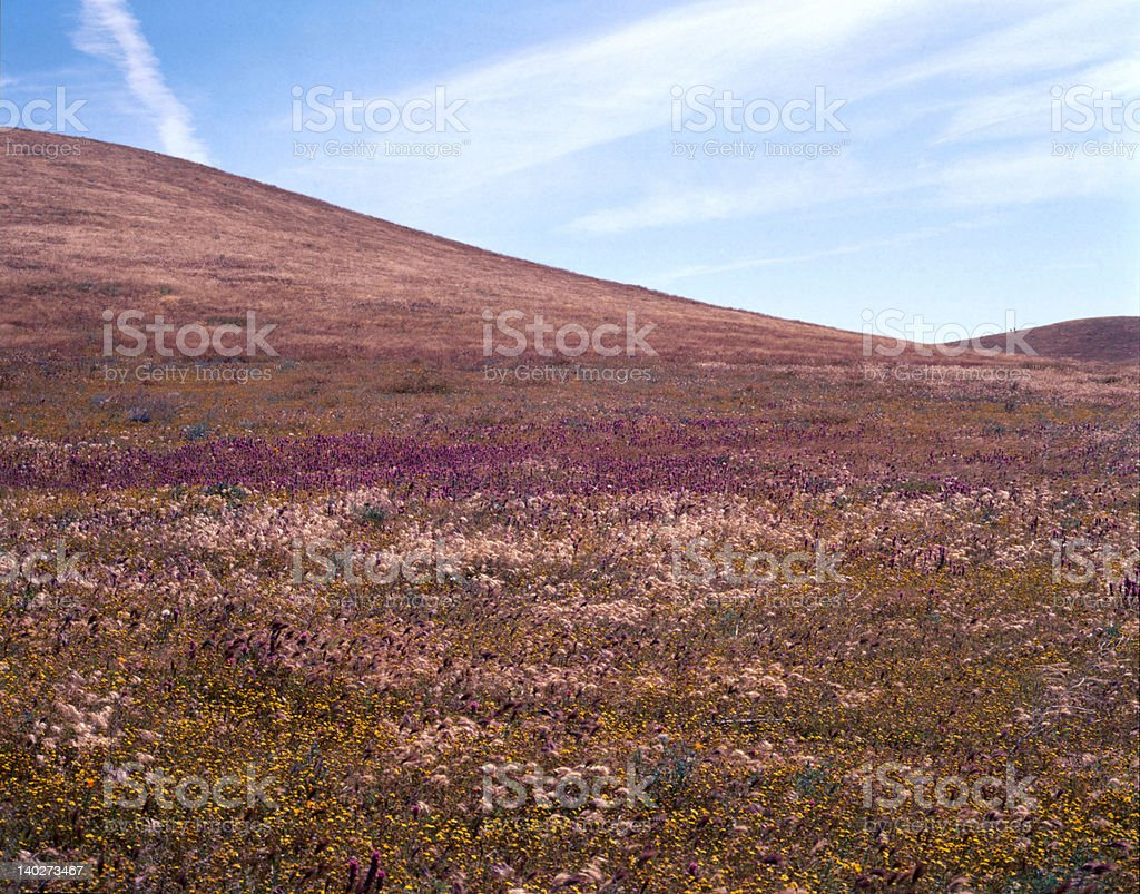 Field of Wildflowers royalty-free stock photo
