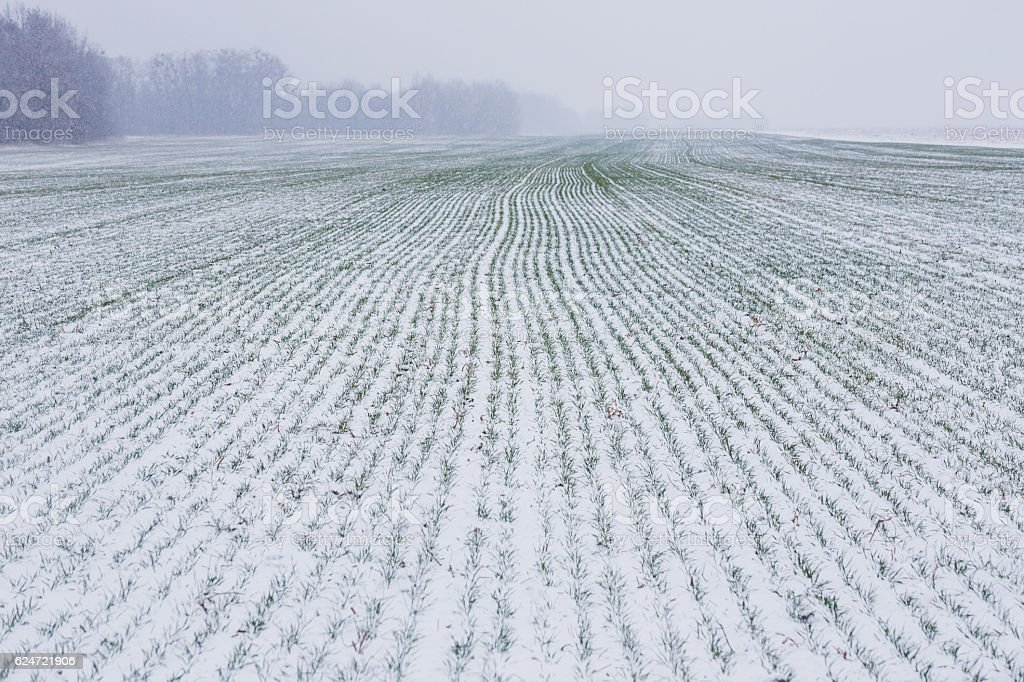 Field of winter wheat in the snow stock photo