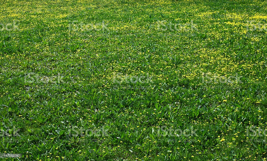 Field of yellow and green royalty-free stock photo