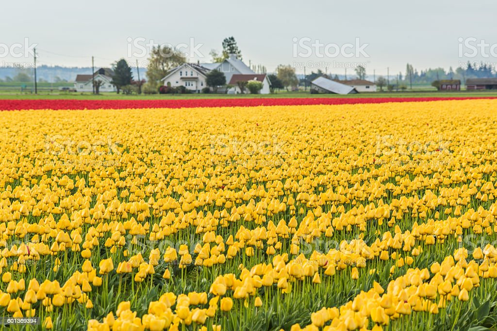 Field of yellow and red tulip rows in countryside stock photo
