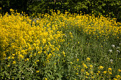 Field of yellow and white flowers