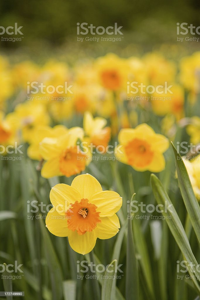 Field of yellow daffodils up close royalty-free stock photo